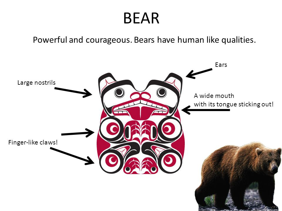 BEAR Powerful and courageous. Bears have human like qualities. Large nostrils A wide mouth with its tongue sticking out! Finger-like claws! Ears