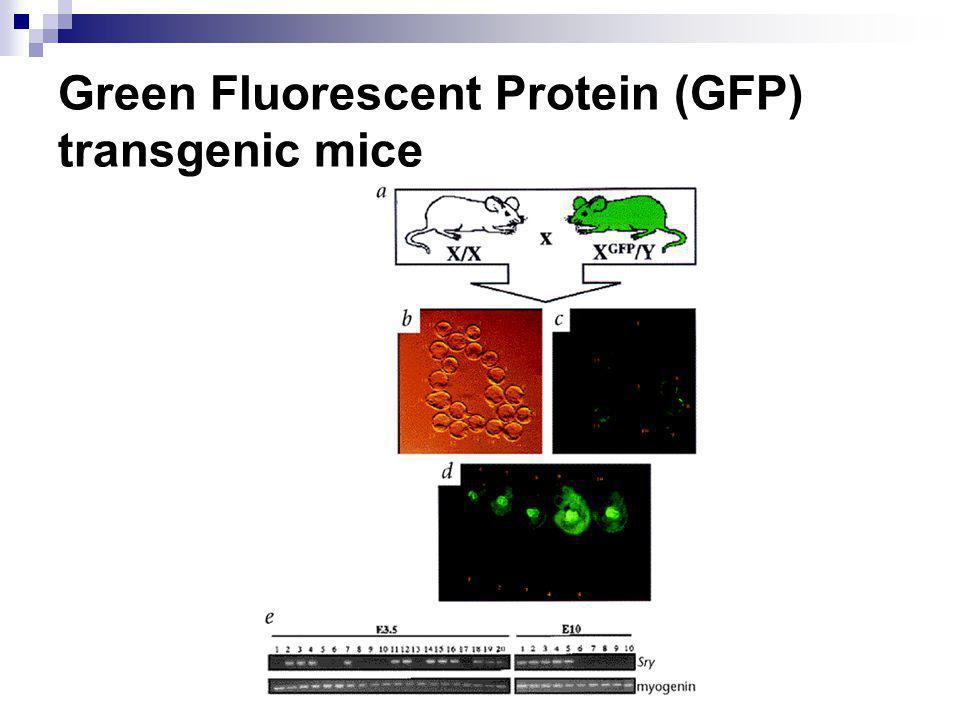 Green Fluorescent Protein (GFP) transgenic mice