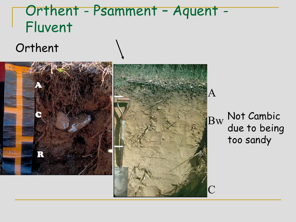 Orthent - Psamment – Aquent - Fluvent A Bw C Orthent Not Cambic due to being too sandy