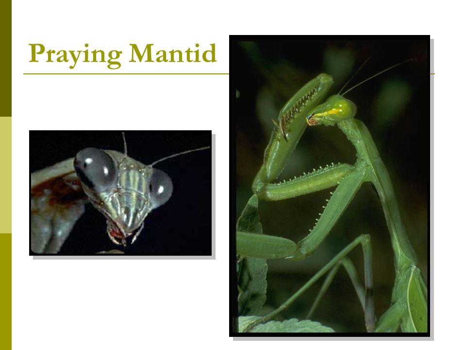 Praying Mantid