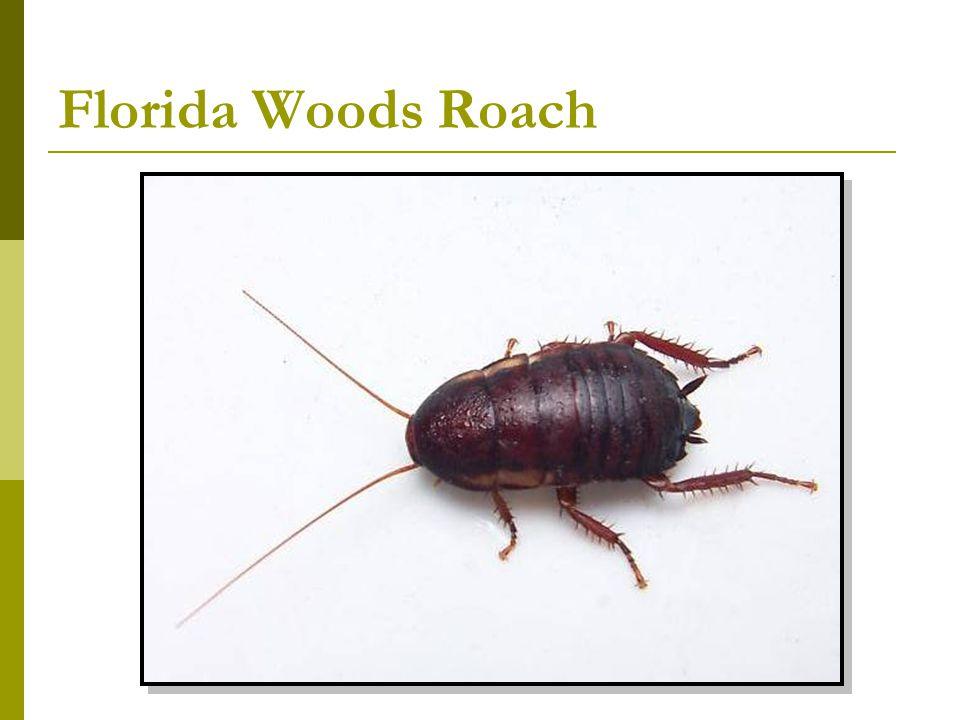 Florida Woods Roach