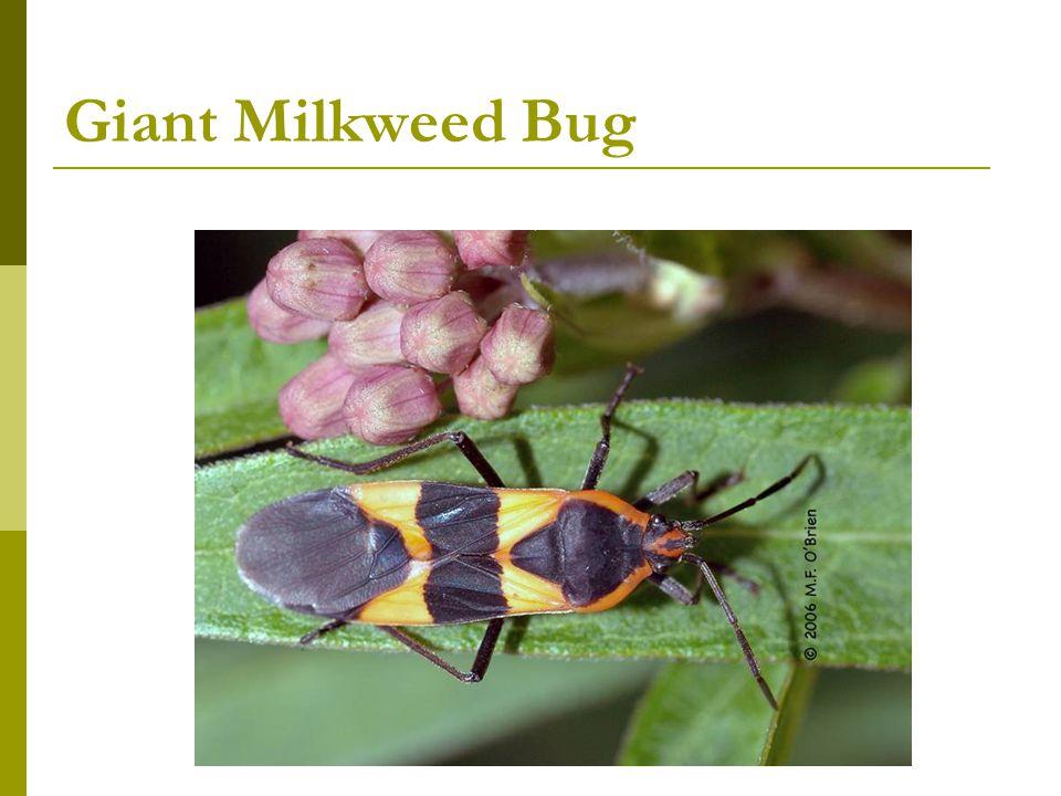 Giant Milkweed Bug
