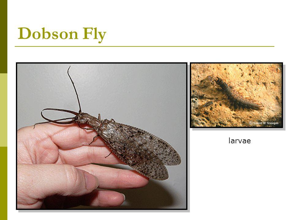 Dobson Fly larvae