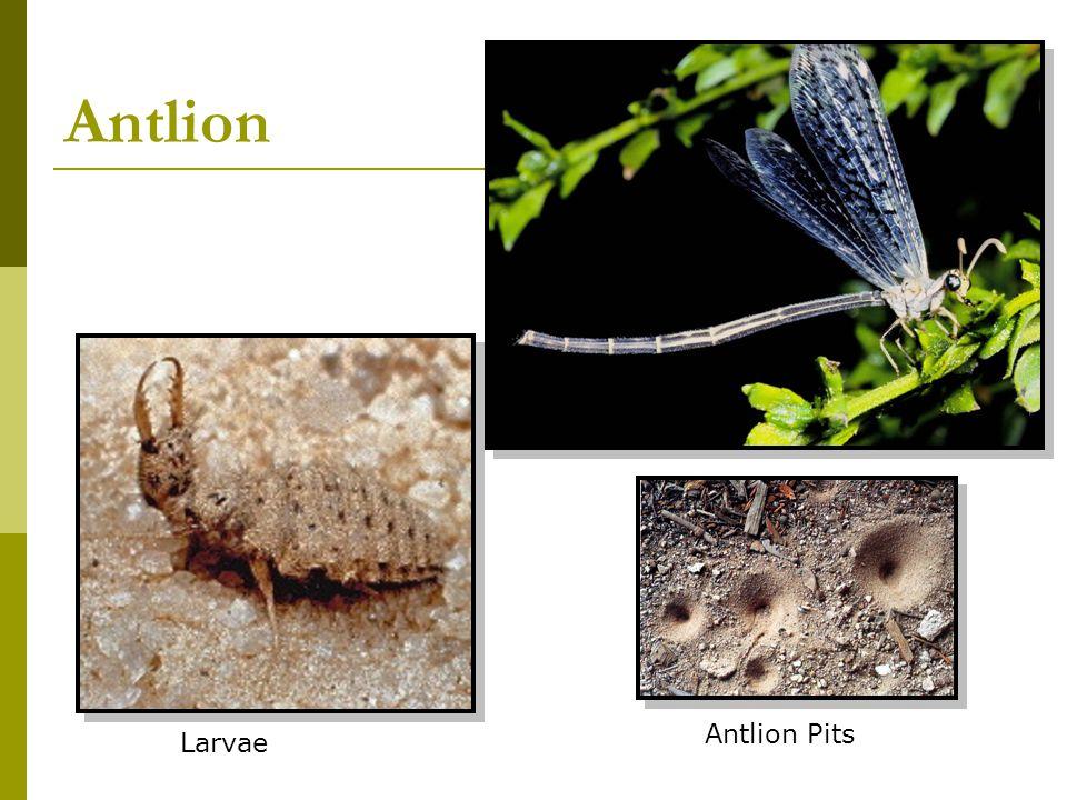 Antlion Larvae Antlion Pits