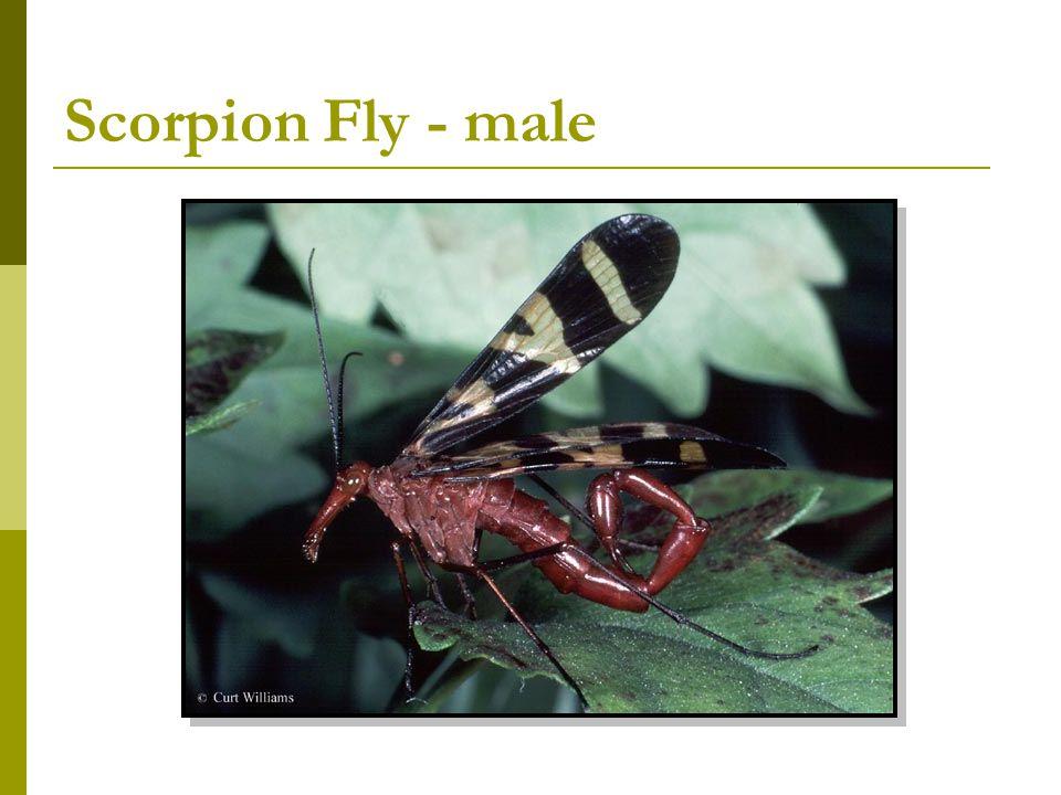 Scorpion Fly - male