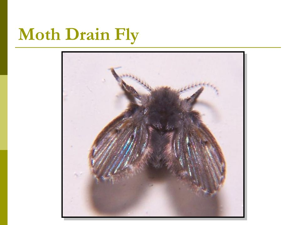 Moth Drain Fly