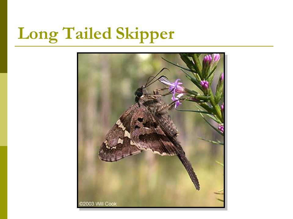 Long Tailed Skipper