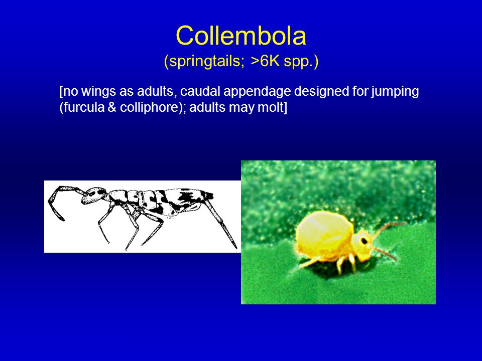 Collembola (springtails; >6K spp.) [no wings as adults, caudal appendage designed for jumping (furcula & colliphore); adults may molt]