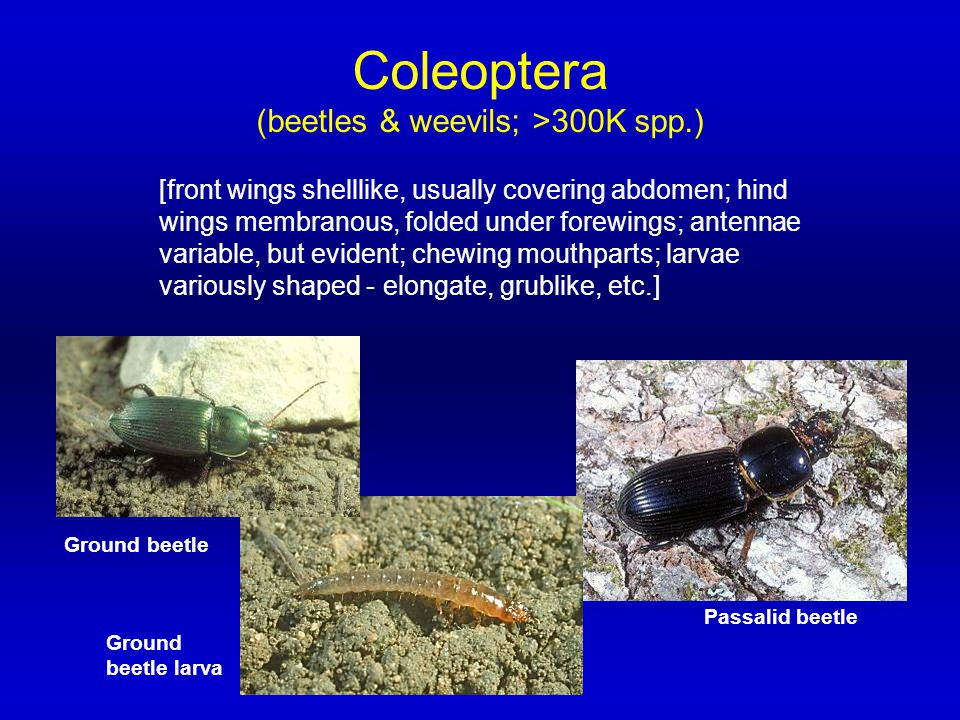 Coleoptera (beetles & weevils; >300K spp.) [front wings shelllike, usually covering abdomen; hind wings membranous, folded under forewings; antennae v