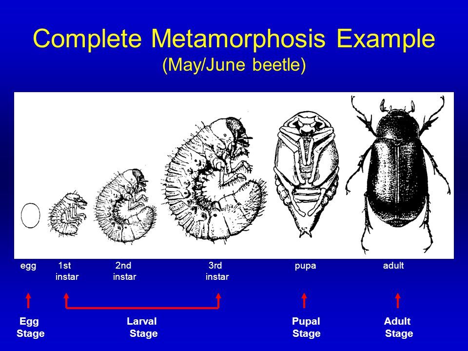 Complete Metamorphosis Example (May/June beetle) egg 1st 2nd 3rd pupa adult instar instar instar Egg Larval Pupal Adult Stage Stage