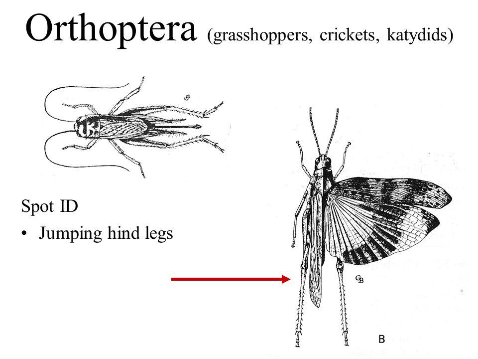 Spot ID Jumping hind legs