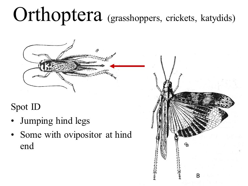 Orthoptera (grasshoppers, crickets, katydids) Spot ID Jumping hind legs Some with ovipositor at hind end