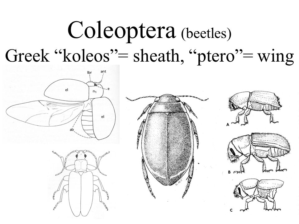 Coleoptera (beetles) Greek koleos= sheath, ptero= wing
