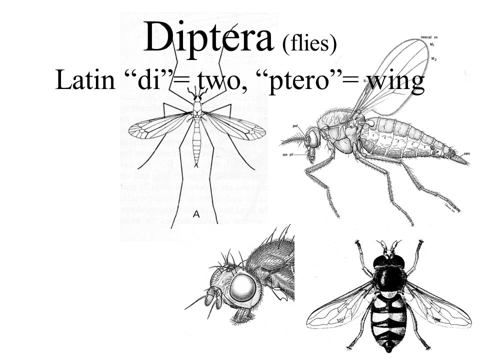 Diptera (flies) Latin di= two, ptero= wing