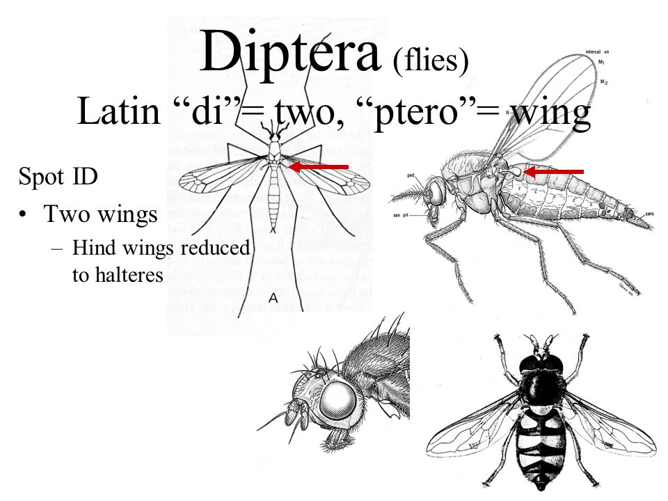 Diptera (flies) Latin di= two, ptero= wing Spot ID Two wings –Hind wings reduced to halteres