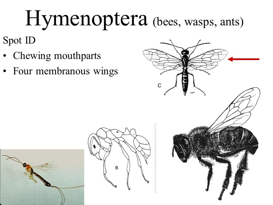 Hymenoptera (bees, wasps, ants) Spot ID Chewing mouthparts Four membranous wings