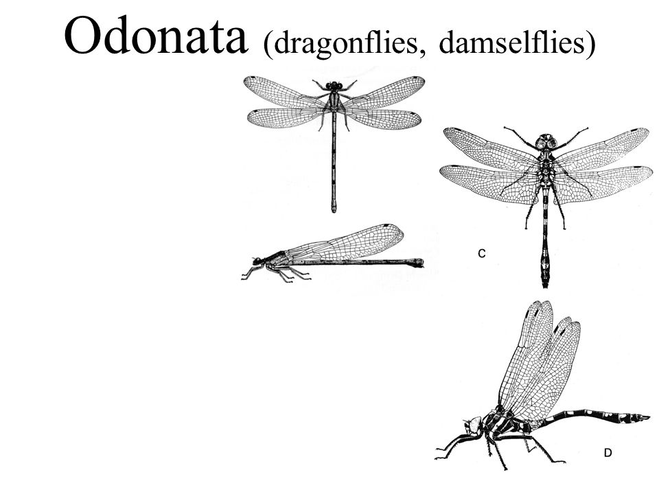 Odonata (dragonflies, damselflies)