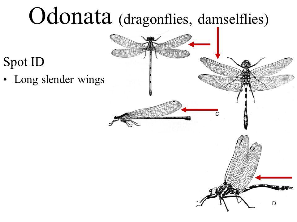 Spot ID Long slender wings