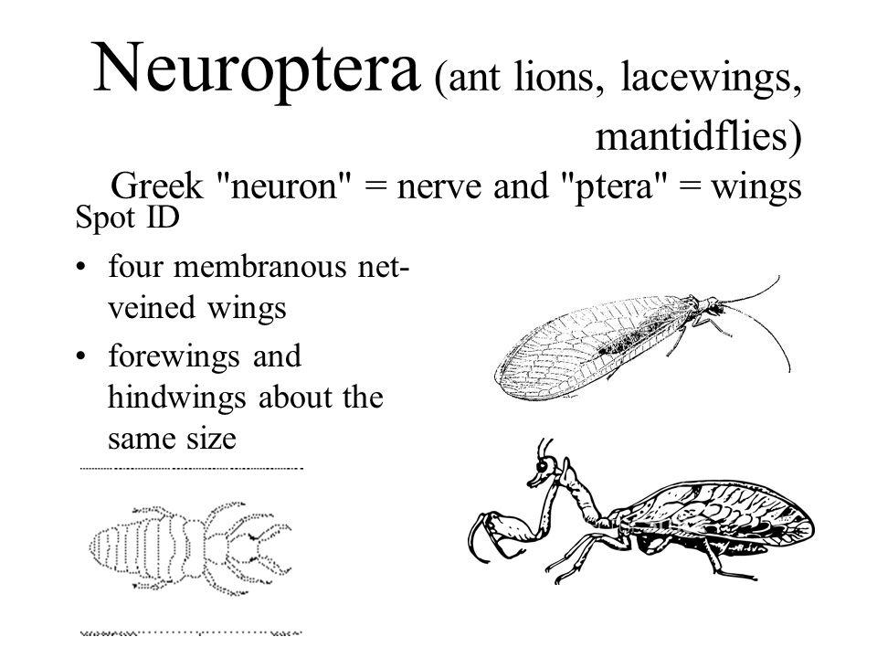 Neuroptera (ant lions, lacewings, mantidflies) Greek