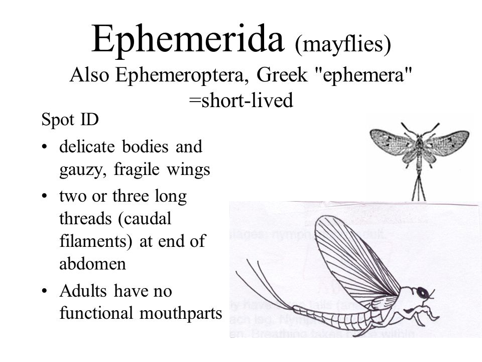 Ephemerida (mayflies) Also Ephemeroptera, Greek