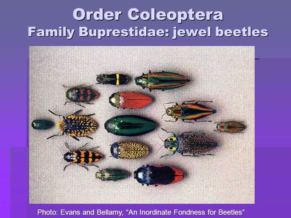 Order Coleoptera Family Buprestidae: jewel beetles Photo: Evans and Bellamy, An Inordinate Fondness for Beetles