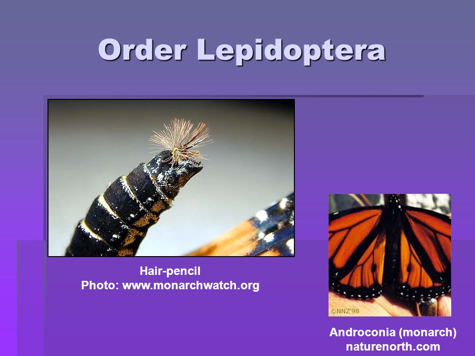 Order Lepidoptera Hair-pencil Photo: www.monarchwatch.org Androconia (monarch) naturenorth.com