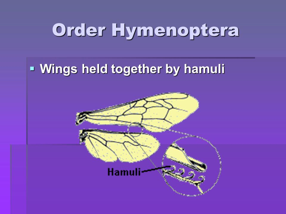 Order Hymenoptera Wings held together by hamuli Wings held together by hamuli