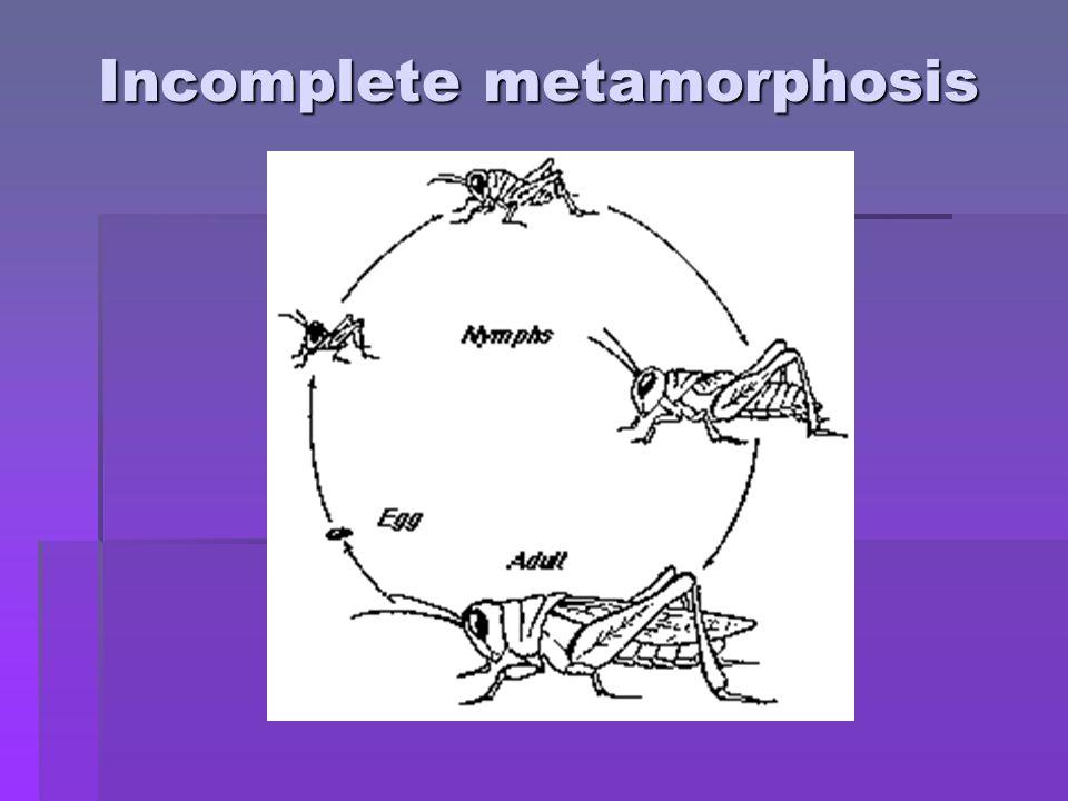 Order Odonata Order Anisoptera: Dragonflies Order Zygoptera: damselflies