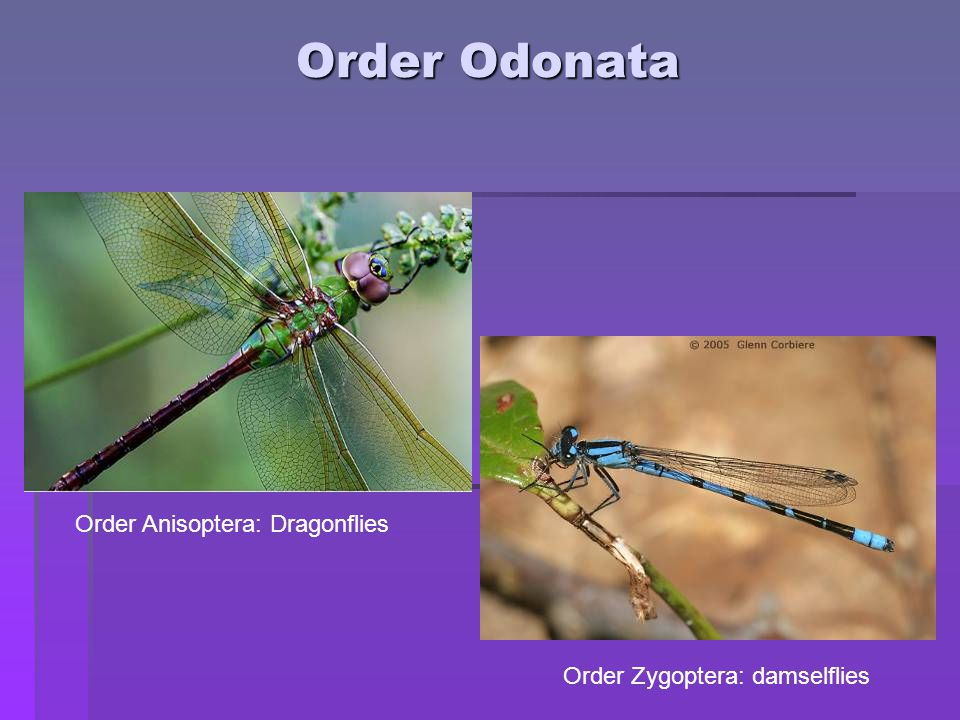 Odonata: mating