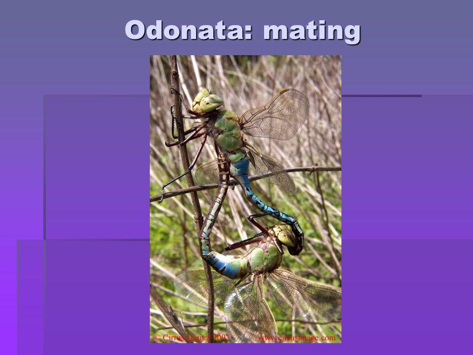 Order Ephemeroptera: mayflies Images: Xerces Society