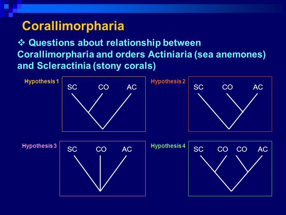 Questions about relationship between Corallimorpharia and orders Actiniaria (sea anemones) and Scleractinia (stony corals) Corallimorpharia SCCOAC SCC