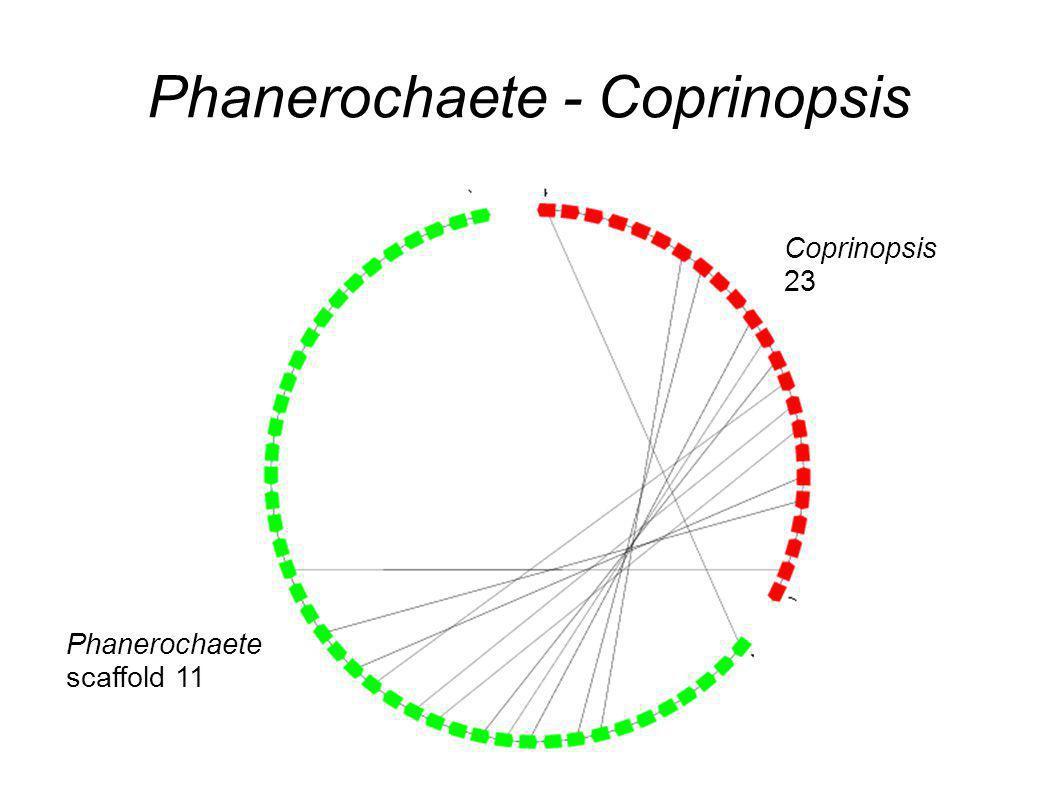 Phanerochaete - Coprinopsis Coprinopsis 23 Phanerochaete scaffold 11