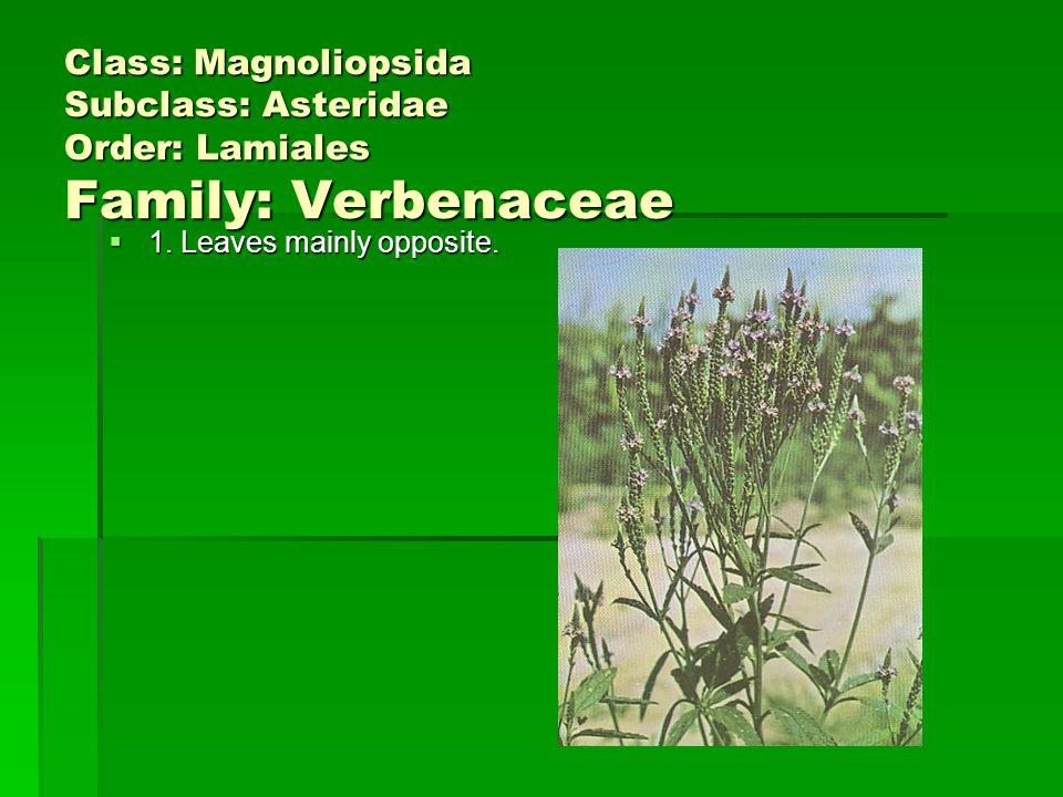 Class: Magnoliopsida Subclass: Asteridae Order: Lamiales Family: Verbenaceae 1.