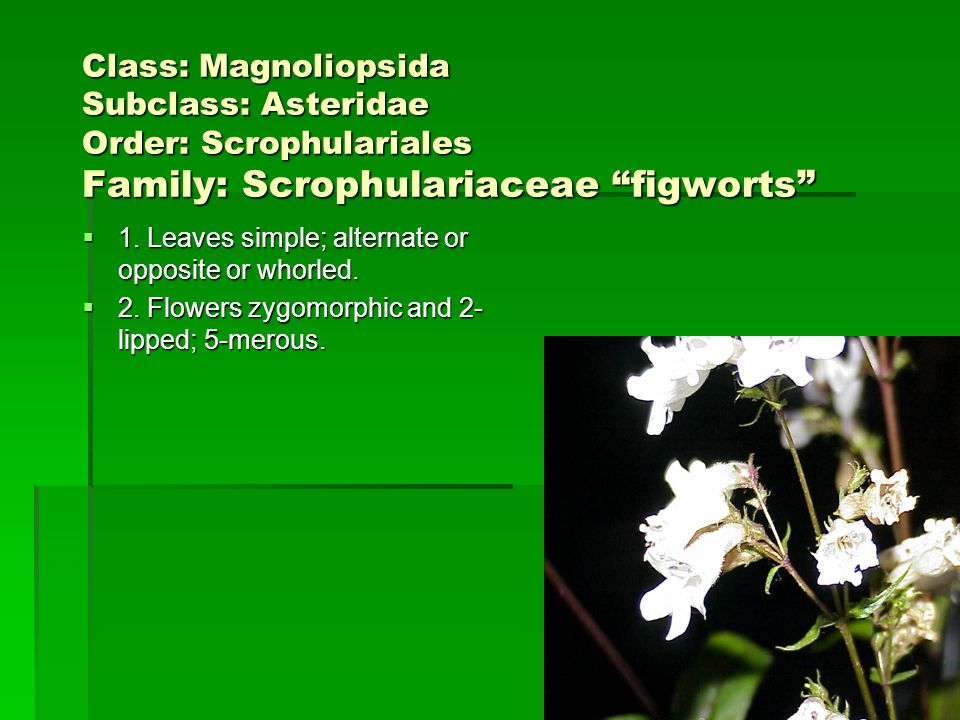 Class: Magnoliopsida Subclass: Asteridae Order: Scrophulariales Family: Scrophulariaceae figworts 1. Leaves simple; alternate or opposite or whorled.
