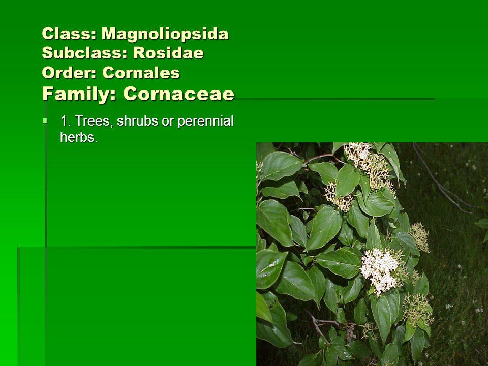 Class: Magnoliopsida Subclass: Rosidae Order: Cornales Family: Cornaceae 1. Trees, shrubs or perennial herbs. 1. Trees, shrubs or perennial herbs.