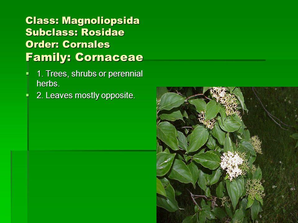 Class: Magnoliopsida Subclass: Rosidae Order: Cornales Family: Cornaceae 1. Trees, shrubs or perennial herbs. 1. Trees, shrubs or perennial herbs. 2.