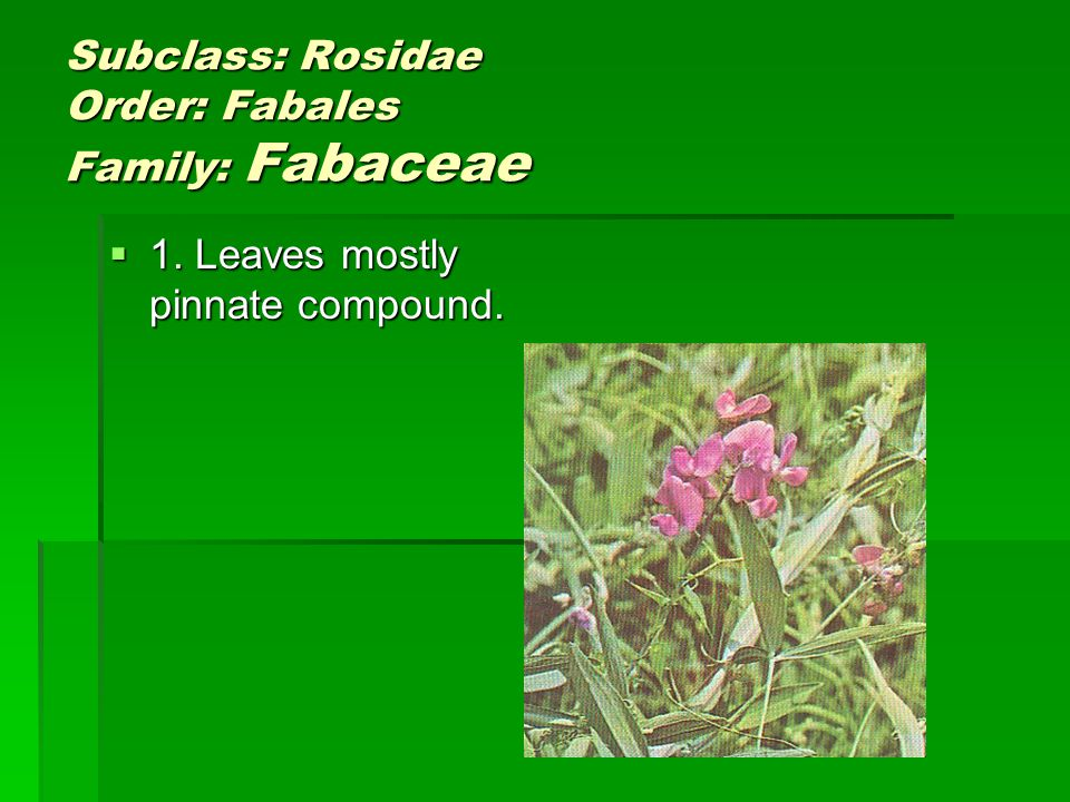 Subclass: Rosidae Order: Fabales Family: Fabaceae 1.
