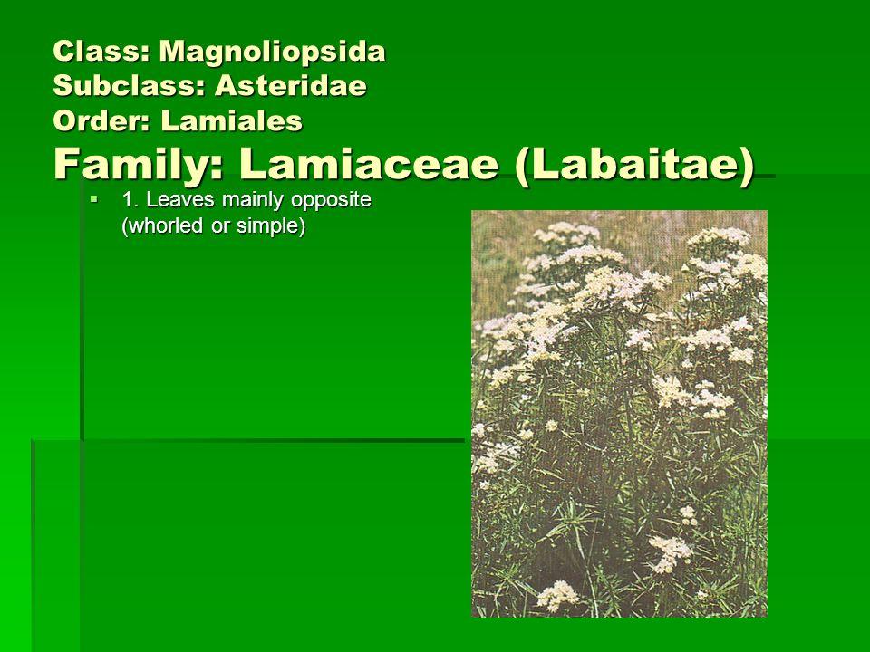 Class: Magnoliopsida Subclass: Asteridae Order: Lamiales Family: Lamiaceae (Labaitae) 1.