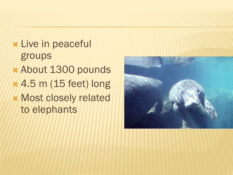 Live in peaceful groups About 1300 pounds 4.5 m (15 feet) long Most closely related to elephants