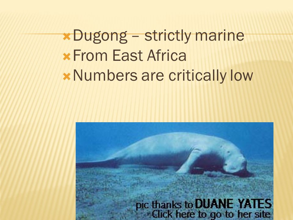 Dugong – strictly marine From East Africa Numbers are critically low