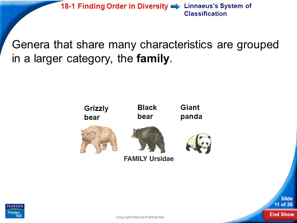 End Show 18-1 Finding Order in Diversity Slide 11 of 26 Copyright Pearson Prentice Hall Grizzly bear Black bear Giant panda Genera that share many characteristics are grouped in a larger category, the family.
