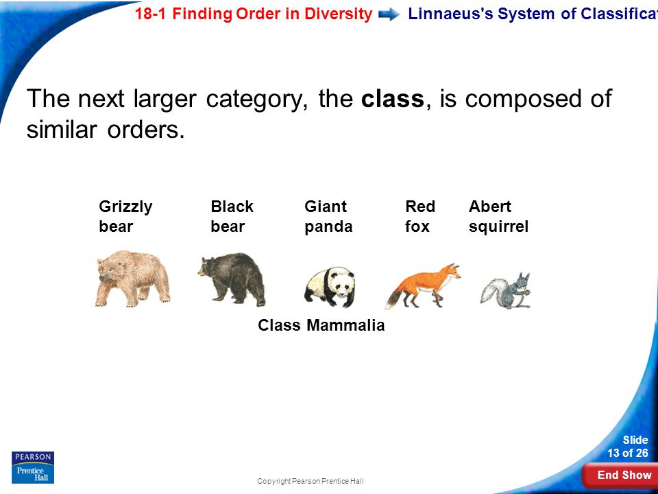 End Show 18-1 Finding Order in Diversity Slide 13 of 26 Copyright Pearson Prentice Hall Abert squirrel Class Mammalia Black bear Giant panda Grizzly bear Red fox Linnaeus s System of Classification The next larger category, the class, is composed of similar orders.