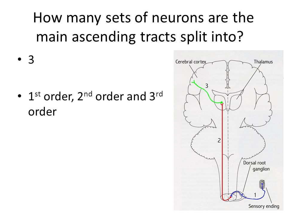 How many sets of neurons are the main ascending tracts split into? 3 1 st order, 2 nd order and 3 rd order