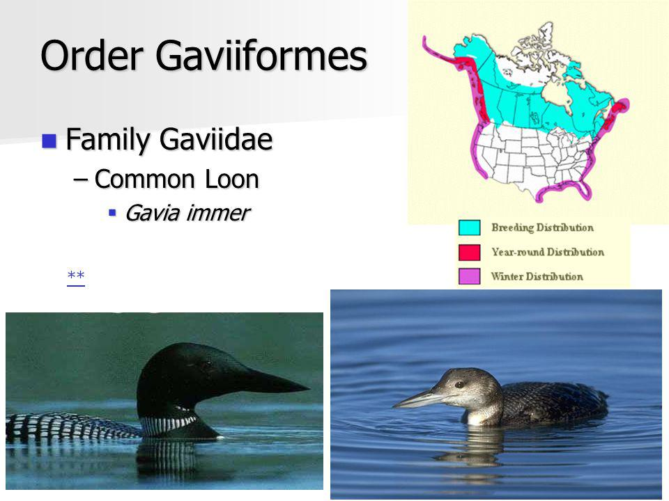 Gavia immer Monogamous Monogamous Carry young on back Carry young on back Cannot fly from land Cannot fly from land