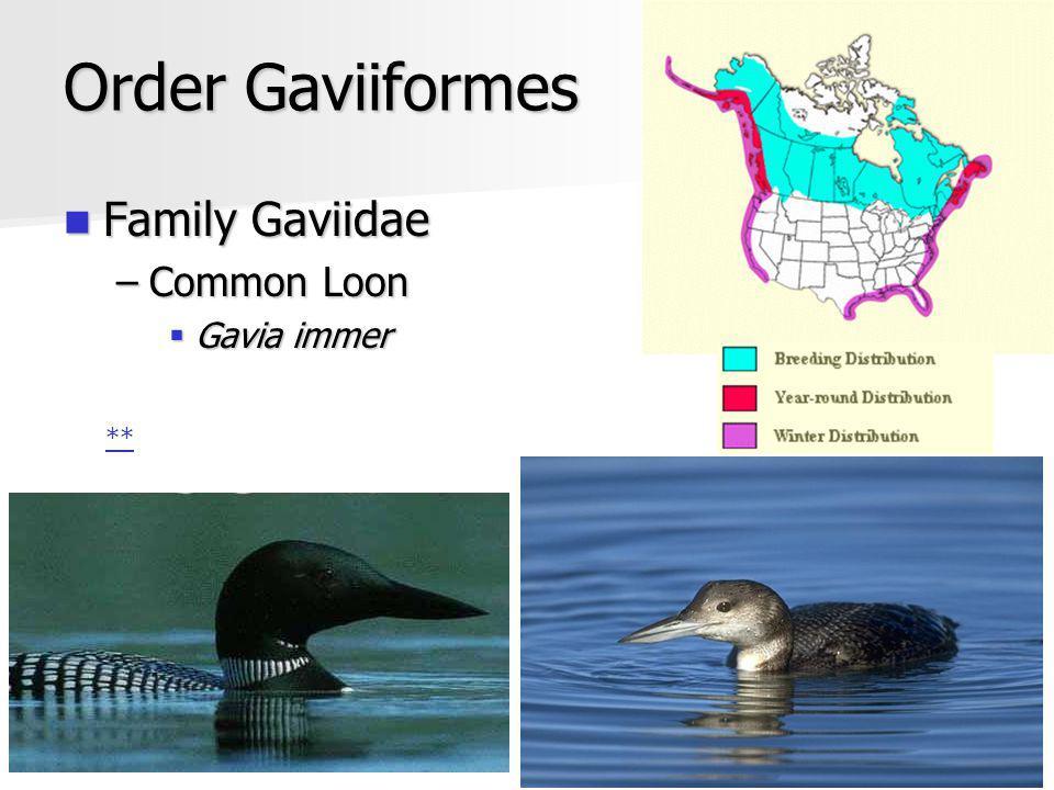 Order Gaviiformes Family Gaviidae Family Gaviidae –Common Loon Gavia immer Gavia immer **