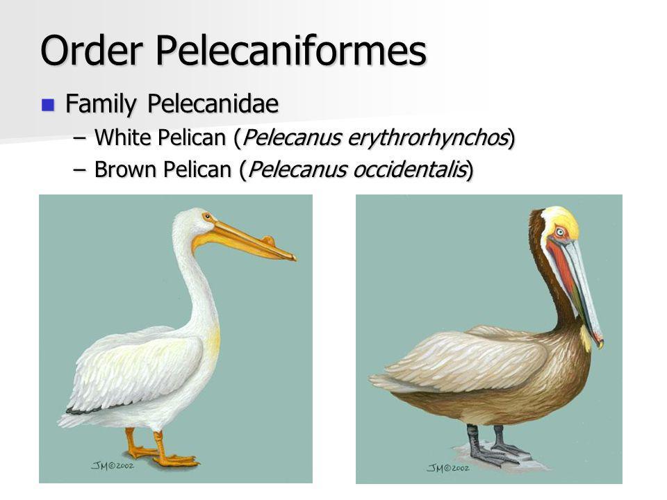 Order Pelecaniformes Family Pelecanidae Family Pelecanidae –White Pelican (Pelecanus erythrorhynchos) –Brown Pelican (Pelecanus occidentalis)