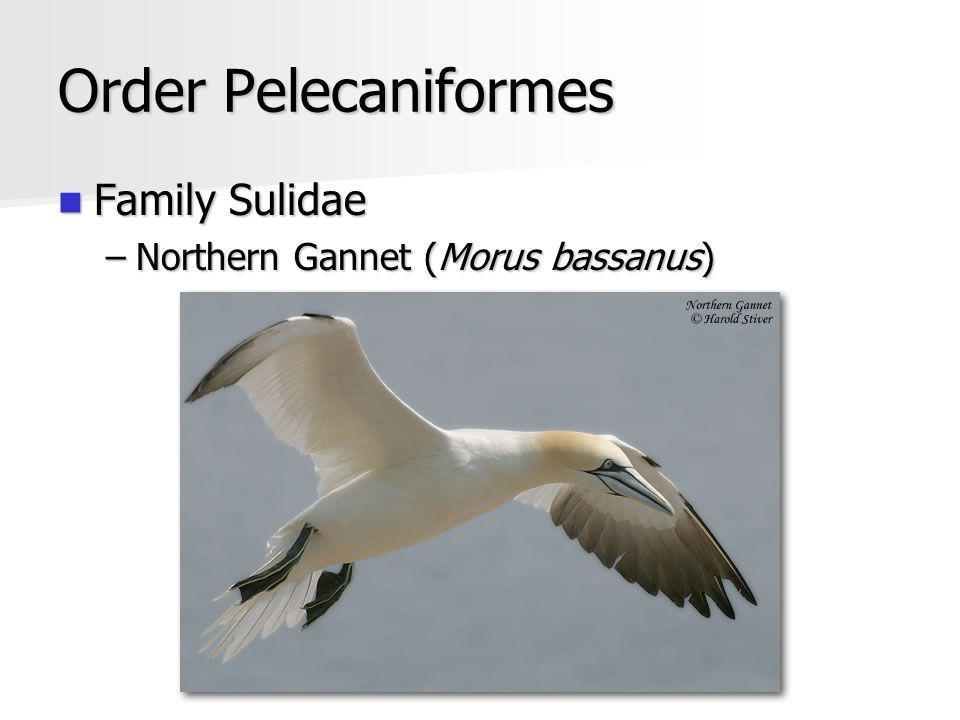 Order Pelecaniformes Family Sulidae Family Sulidae –Northern Gannet (Morus bassanus)