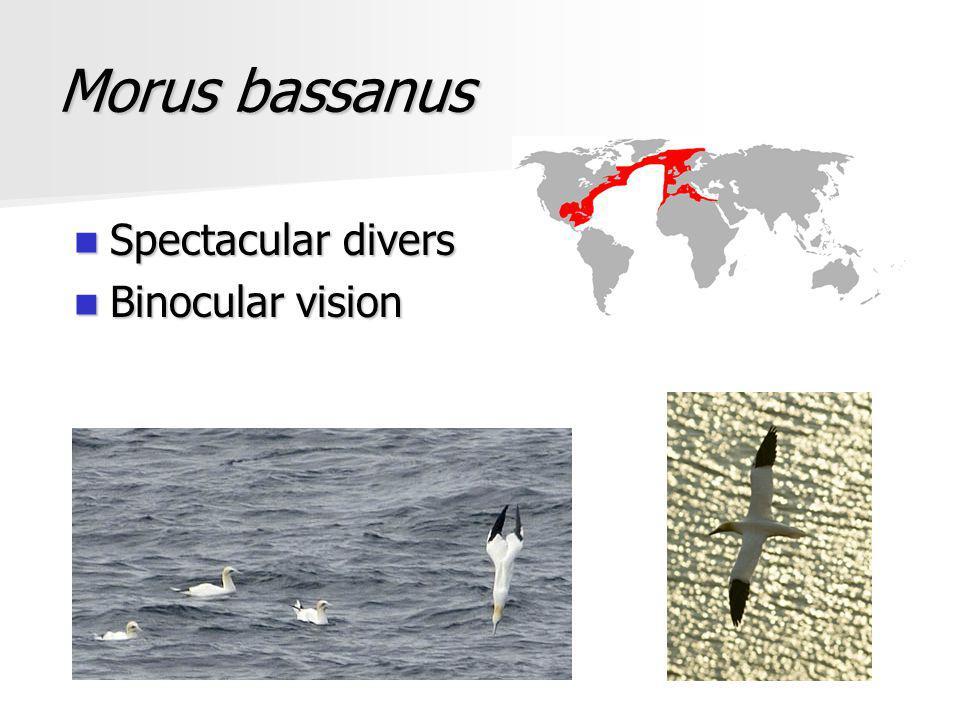 Morus bassanus Spectacular divers Spectacular divers Binocular vision Binocular vision