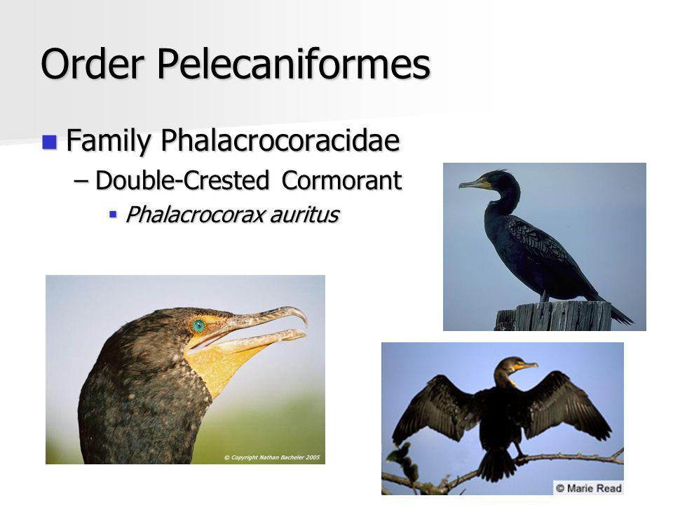 Order Pelecaniformes Family Phalacrocoracidae Family Phalacrocoracidae –Double-Crested Cormorant Phalacrocorax auritus Phalacrocorax auritus