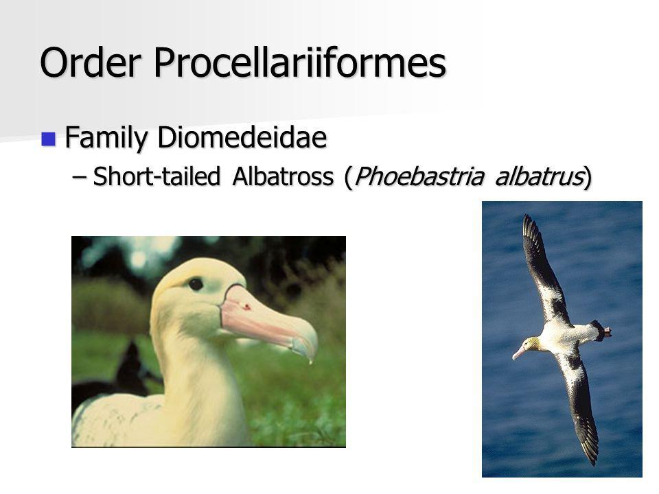 Order Procellariiformes Family Diomedeidae Family Diomedeidae –Short-tailed Albatross (Phoebastria albatrus)